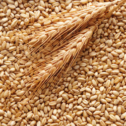 trebbiatura grano